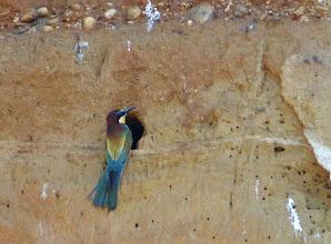 Photo: Bienenfresser (Merops apiaster) an einer Lösswand vor seiner Brutröhre. Der Löss eignet sich hervorragend zum Bau der meist 1 bis 1,5 m tiefen Röhre. (Dieses Foto habe ich am Neusiedlersee gemacht.)