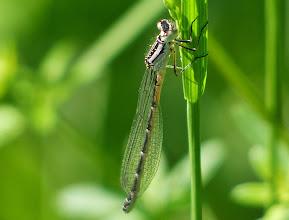 Photo: Gemeine Federlibelle, Weibchen (Platycmenis pennipes) ?
