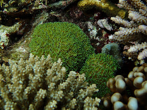 Photo: Galaxea sp. (Galaxy Coral), Small Lagoon, Miniloc Island, Palawan, Philippines.
