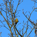 Yellowhammer, Goldammer