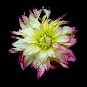 by Babor Ali Khan - Flowers Single Flower (  )