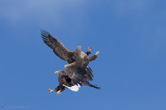 Photo: Two White-Tailed Eagles having a bit of a tiff, or playing.
