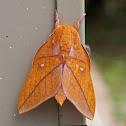 Saturniidae Moth
