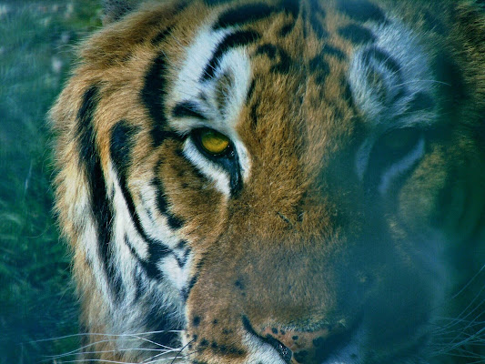 Eye of the tiger di Roberta Ricciardi