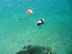 Photo: Saddleback Anemonefish