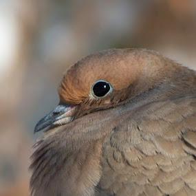 by Patti Cooper - Animals Birds ( morning dove, head study, dove, bird )
