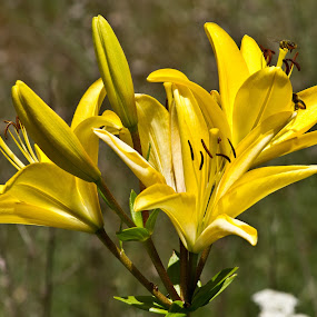 Mellow Yellow by Reva Fuhrman - Flowers Flowers in the Wild ( lilys yellow roadside green buds,  )