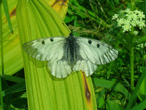 Photo: Niepylak mnemozyna (Parnassius mnemosyne)