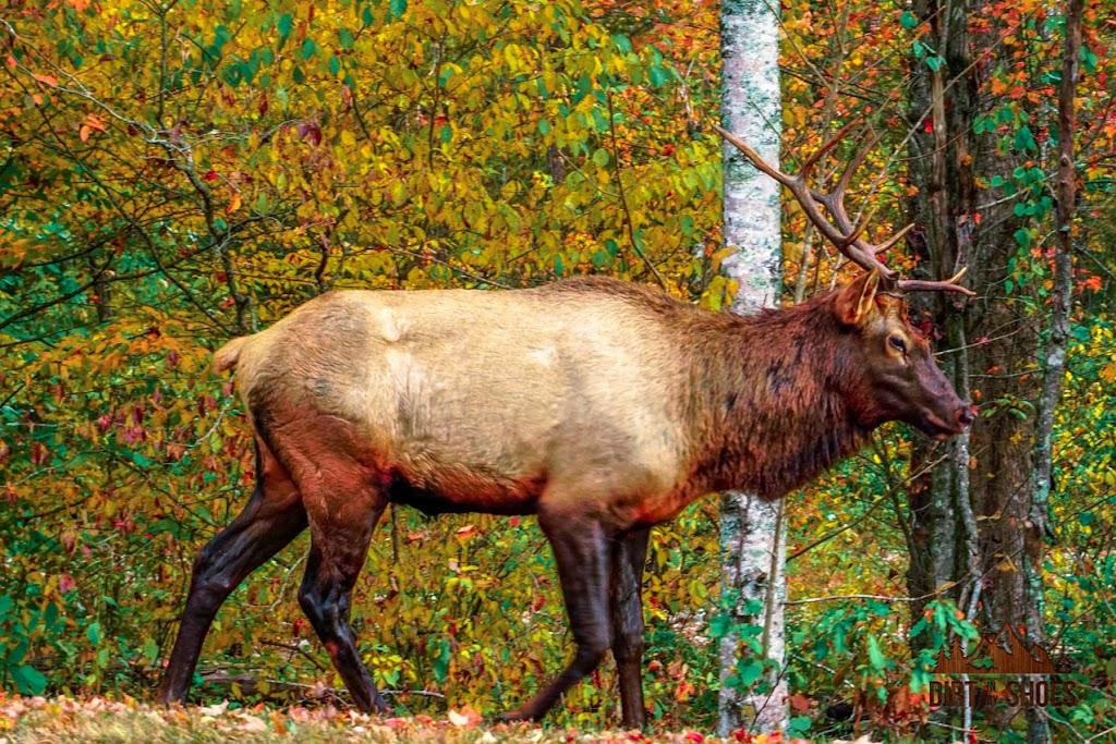 Great Smoky Mountains Oconaluftee Elk