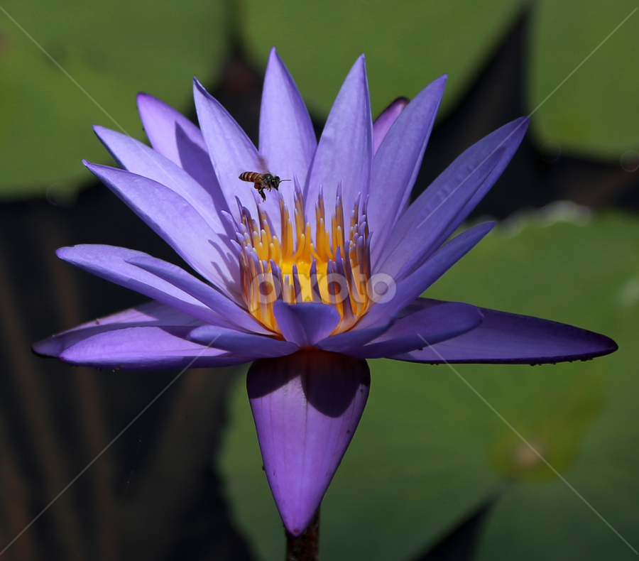 Bumblebee & Violet Padma by Esther Pupung - Nature Up Close Flowers - 2011-2013 ( watter lilies,  )