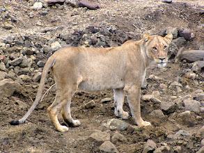 Photo: Kruger NP - lioness