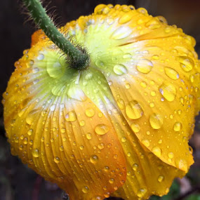 Raindrops on a poppy. by Janet Young- Abeyta - Nature Up Close Natural Waterdrops (  )