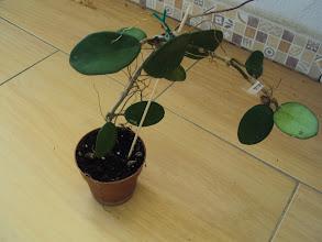 Photo: Hoya diversifolia