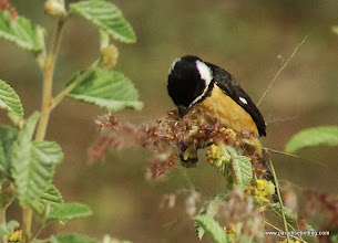 Photo: White-collared Seedeater, Nuevo Vallarta