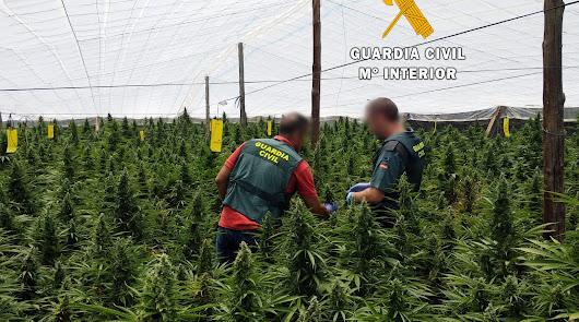 Más de 21.000 plantas de marihuana y 42 detenidos en el primer trimestre del año