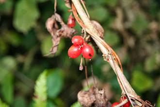Photo: Si les jeunes pousses du tamier sont comestibles, les fruits, eux, sont toxiques
