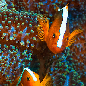 Pretty in orange by Richard ten Brinke - Animals Fish ( sea creatures, underwater life, ocean life )