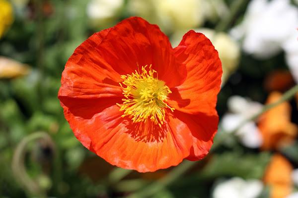 fiore di c