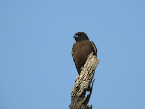 Photo: Little Woodswallow at Dingo Springs