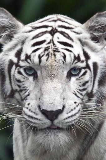 White Tiger Live Wallpaper  screenshots 2