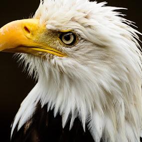 Alaskan Eagle by John Sinclair - Animals Birds ( eagle, alaska,  )
