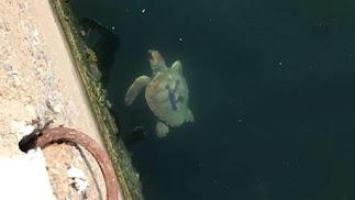 Imagen de la tortuga \'Kika\' cuando fue avistada en el puerto de Almerimar.