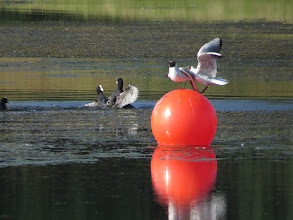Photo: 15 Jul 13 Priorslee Lake: Black-headed Gulls dispute who should stand on the buoy: Coots just dispute! (Ed Wilson)