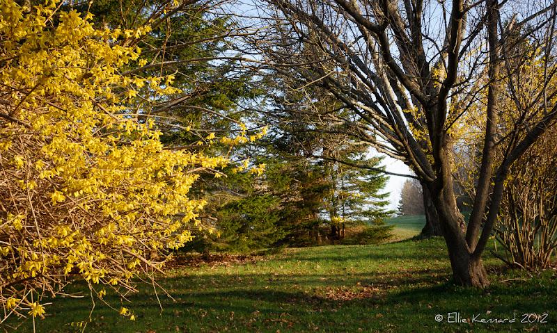 Photo: Forsytha beside the Path