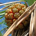 Screw pine/Pandanus