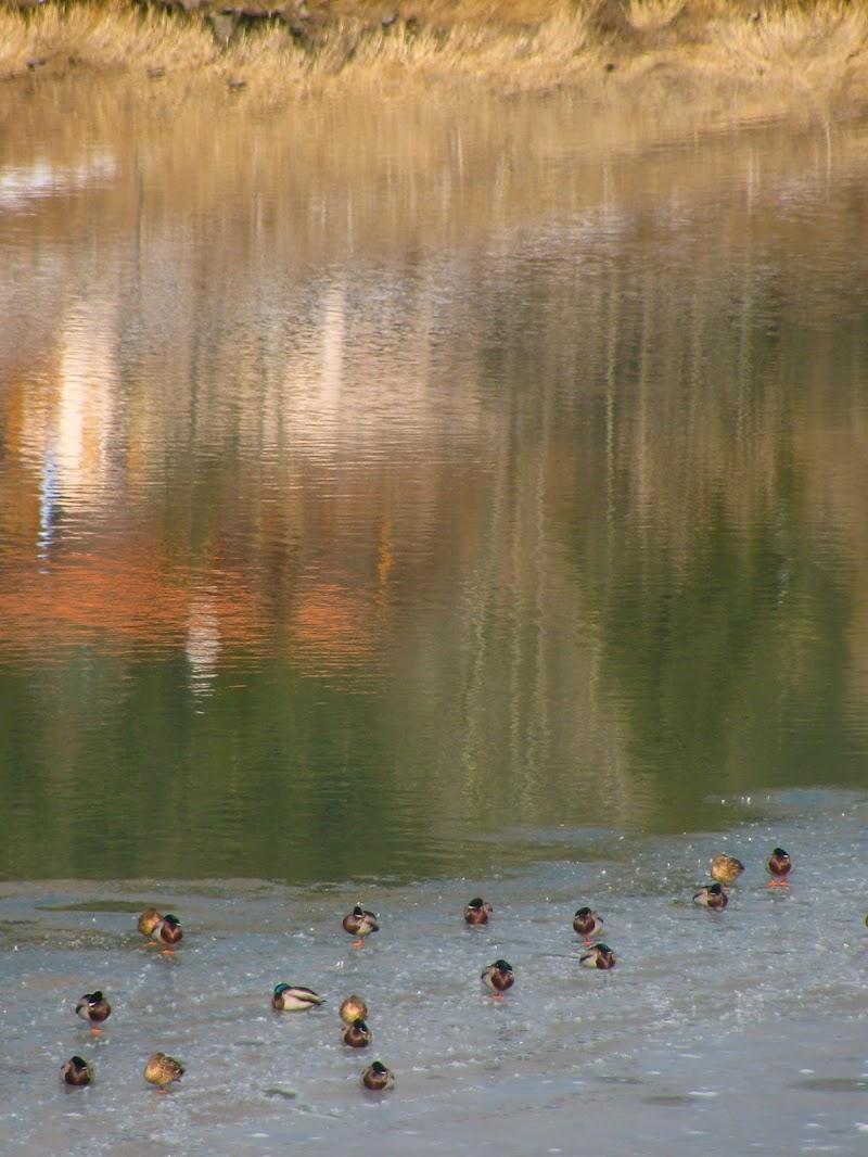 Anatre sul lago ghiacciato di PhotoLoris