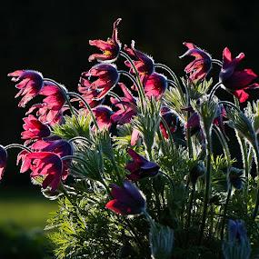 Dance into the Light by Sunny Zheng - Flowers Flower Gardens ( pasque flower, black background, backlit, red, pulsatilla rubra, flowers )