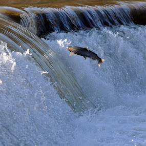 by Jon Hurd - Animals Fish ( water, fish, trout, dam, wildlife, jump,  )