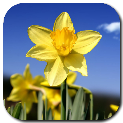 Daffodils Video Live Wallpaper