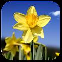 Daffodils Video Live Wallpaper icon