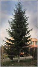 Photo: Conifer de pe Calea Victoriei, Gradinita - 2017.12.19