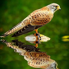 Faucon crecerelle by Gérard CHATENET - Animals Birds