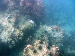 Photo: Damselfish in a sea of urchins