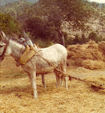Photo: Burro trillando en la era