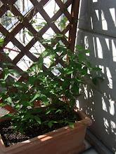 Photo: クレマチス鉢植え