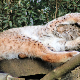 Lynx Yoga by Stacey Welsh - Animals Other ( cat, european, nature, furry, lynx, landscape, yoga, mammal, animal )