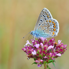 Common Blue butterfly on Marjoram by Tony Steele - Animals Insects & Spiders ( common blue butterfly marjoram )