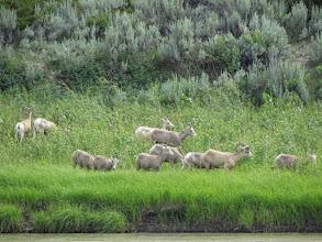 Photo: Bighorn Sheep across from Gist Bottom