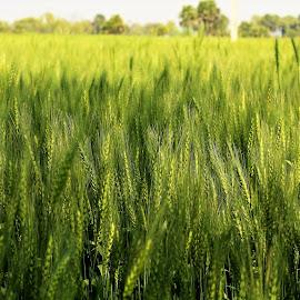 wheat  by Mukesh Kumar - Nature Up Close Other plants