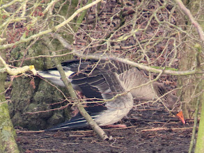 Photo: 27 Jan 14 Priorslee Flash The injured Greylag Goose – seems to have a broken wing – on the island at The Flash. (Ed Wilson)