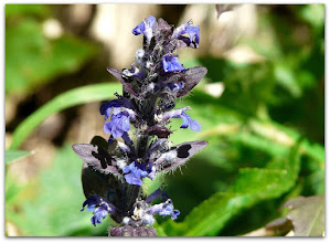 Photo: ajuga reptans (Kriechender Günsel) - Fundort: Reiting