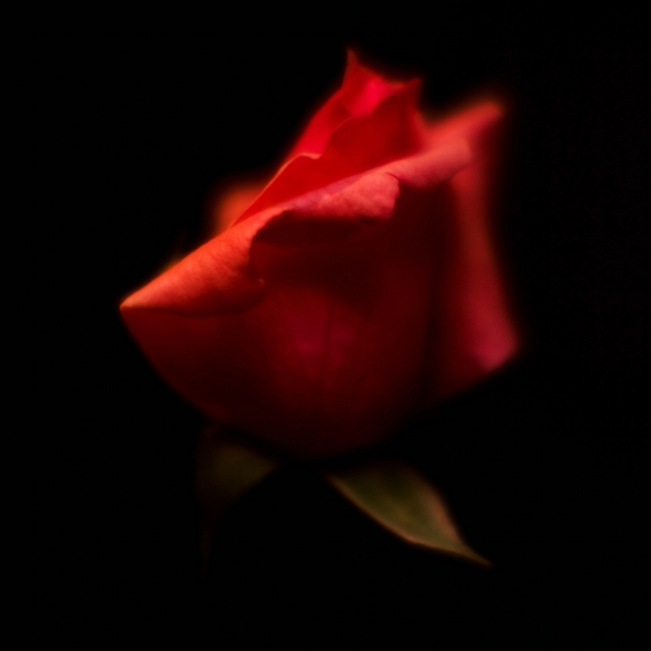 Rosa di rhcpxx86