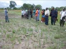 Photo: Several people from Government, NGOs, traditional leaders and farmer groups visited Mr. and Mrs. Ng'oma's field in Rubeen area of the Chinsali Distrcit on February 17, 2011, to observe SRI farming progress. [Photo courtesy of Henry Ngimbu]