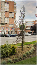Photo: Alun ornamental (Corylus avellana 'Red Majestic')  - de pe Str. Libertatii - 2017.06.23