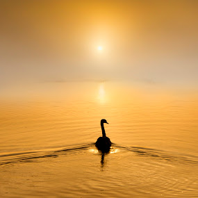 Golden Waters by Adrian Campfield - Landscapes Waterscapes ( warm, wildlife, reflections, whiye, yellow, birds, mute swan, sky, nature, wings, dark, weather, wet, gold, light, misty, black, clouds, rivers, ornage, flight, foggy, dawn, red, amber, silhouettes, sunrise, golden, swater,  )