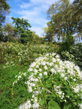 Photo: White flowers in a September field at Eastwood Park in Dayton, Ohio.